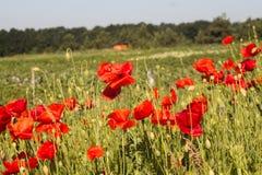 Rote Mohnblumen auf dem Gebiet Stockbild