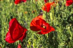 Rote Mohnblumen auf dem Gebiet Stockfoto