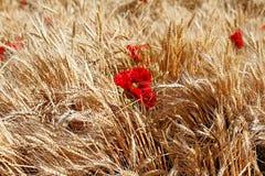 Rote Mohnblumen auf dem Gebiet lizenzfreie stockfotos