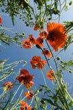 Rote Mohnblumen auf dem Hintergrund des blauen Himmels Stockfoto