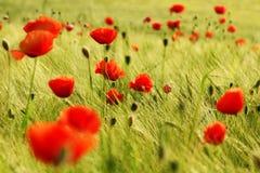 Rote Mohnblumen auf der Wiese Stockfotos