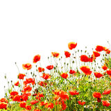 Rote Mohnblumen auf der Wiese Stockfotografie
