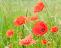 Rote Mohnblumen auf einem Gebiet Stockbild