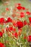 Rote Mohnblumen auf einem grünen Gebiet Stockbilder