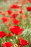 Rote Mohnblumen auf einem grünen Gebiet Lizenzfreies Stockbild
