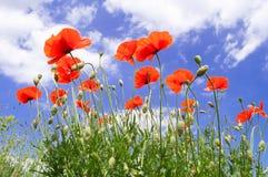 Rote Mohnblumen auf einem Hintergrund des blauen Himmels mit weißen Wolken lizenzfreies stockbild