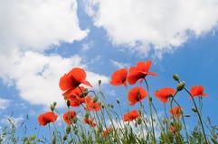 Rote Mohnblumen auf einem Hintergrund des blauen Himmels mit weißen Wolken stockfoto