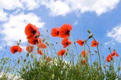 Rote Mohnblumen auf einem Hintergrund des blauen Himmels mit weißen Wolken lizenzfreie stockfotografie
