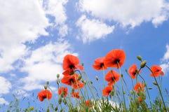 Rote Mohnblumen auf einem Hintergrund des blauen Himmels mit weißen Wolken stockbild