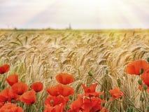 Rote Mohnblumen auf einem Hintergrund von Weizenähren auf Sonnenaufgang Stockfoto
