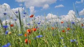 Rote Mohnblumen auf einem Mohnblumenfeld mit grünem Gras in der Wiese Video 4K stock footage