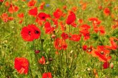 Rote Mohnblumen auf grünem Feld Stockbilder