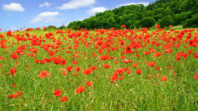 rote Mohnblumen auf grünem Feld Stockfoto