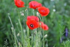 Rote Mohnblumen auf Wiese stockfotografie