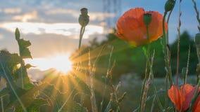 Rote Mohnblumen bei Sonnenuntergang Stockfotografie