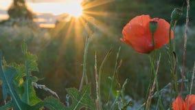 Rote Mohnblumen bei Sonnenuntergang Lizenzfreie Stockfotografie