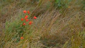 Rote Mohnblumen bei Sonnenuntergang Lizenzfreies Stockfoto