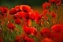Rote Mohnblumen-Blumen Stockfoto