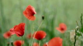 Rote Mohnblumen in der Blüte auf einem grünen Feld stock footage