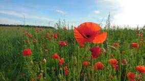 Rote Mohnblumen in der Blüte am sonnigen Tag in Litauen Stockbilder
