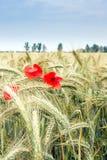 Rote Mohnblumen in der Weizenkette Lizenzfreies Stockbild