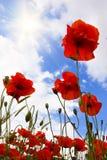 Rote Mohnblumen in der Wiese Stockfotografie