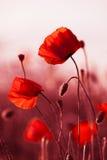 Rote Mohnblumen in der Wiese Lizenzfreie Stockfotos