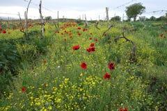 Rote Mohnblumen des wilden Frühlinges, die auf das ländliche Feld zerstreuen lizenzfreies stockbild
