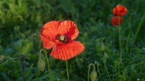 Rote Mohnblumen, die auf einem englischen Gebiet wild wachsen Lizenzfreie Stockfotografie