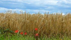 Rote Mohnblumen, die ein Landwirtfeld an einem stürmischen Sommertag zeichnen Stockfotos