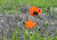 Rote Mohnblumen in einem Rücklicht gegen Lizenzfreie Stockbilder