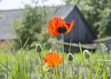 Rote Mohnblumen in einer Hintergrundbeleuchtung gegen Stockbilder