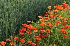 Rote Mohnblumen entlang einer Mais-Wiese Lizenzfreie Stockbilder