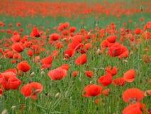 Rote Mohnblumen in Frankreich Stockfotografie