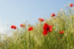 Rote Mohnblumen gegen blauen Himmel Stockfoto