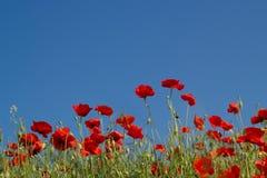 Rote Mohnblumen gegen blauen Himmel Stockfotografie