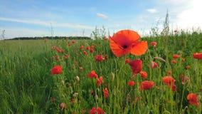 Rote Mohnblumen im Land von Litauen Stockfotos