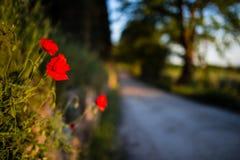 Rote Mohnblumen mit toskanischer Straße zeichneten mit Bäumen im Hintergrund Lizenzfreie Stockfotos