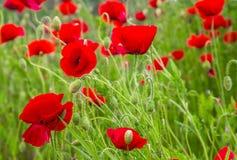 Rote Mohnblumen mit Wassertropfen Stockfotos