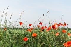 Rote Mohnblumen am Rand eines Feldes Stockfoto