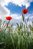 Rote Mohnblumen schließen oben auf stürmischem skyes Hintergrund Lizenzfreie Stockfotografie