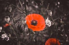 Rote Mohnblumen, Schwarzweiss lizenzfreie stockfotografie