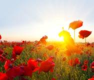Rote Mohnblumen in Strahlen der Sonne Stockbild