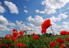 Rote Mohnblumen und blauer Himmel Stockbilder