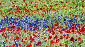 Rote Mohnblumen und Bluebonnets stockbilder