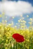 Rote Mohnblumen und gelbes Feld Lizenzfreie Stockfotos