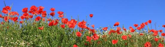 Rote Mohnblumen und volle Blüte der Gänseblümchen, panoramische Größe Stockbilder