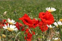 Rote Mohnblumen und weiß-gelbe Gänseblümchen Lizenzfreie Stockfotografie