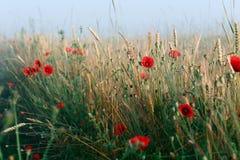 Rote Mohnblumen und Weizen am Morgen nebeln auf Ukraine ein Stockfotografie