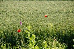 Rote Mohnblumen unter einem Weizenfeld Stockfotografie